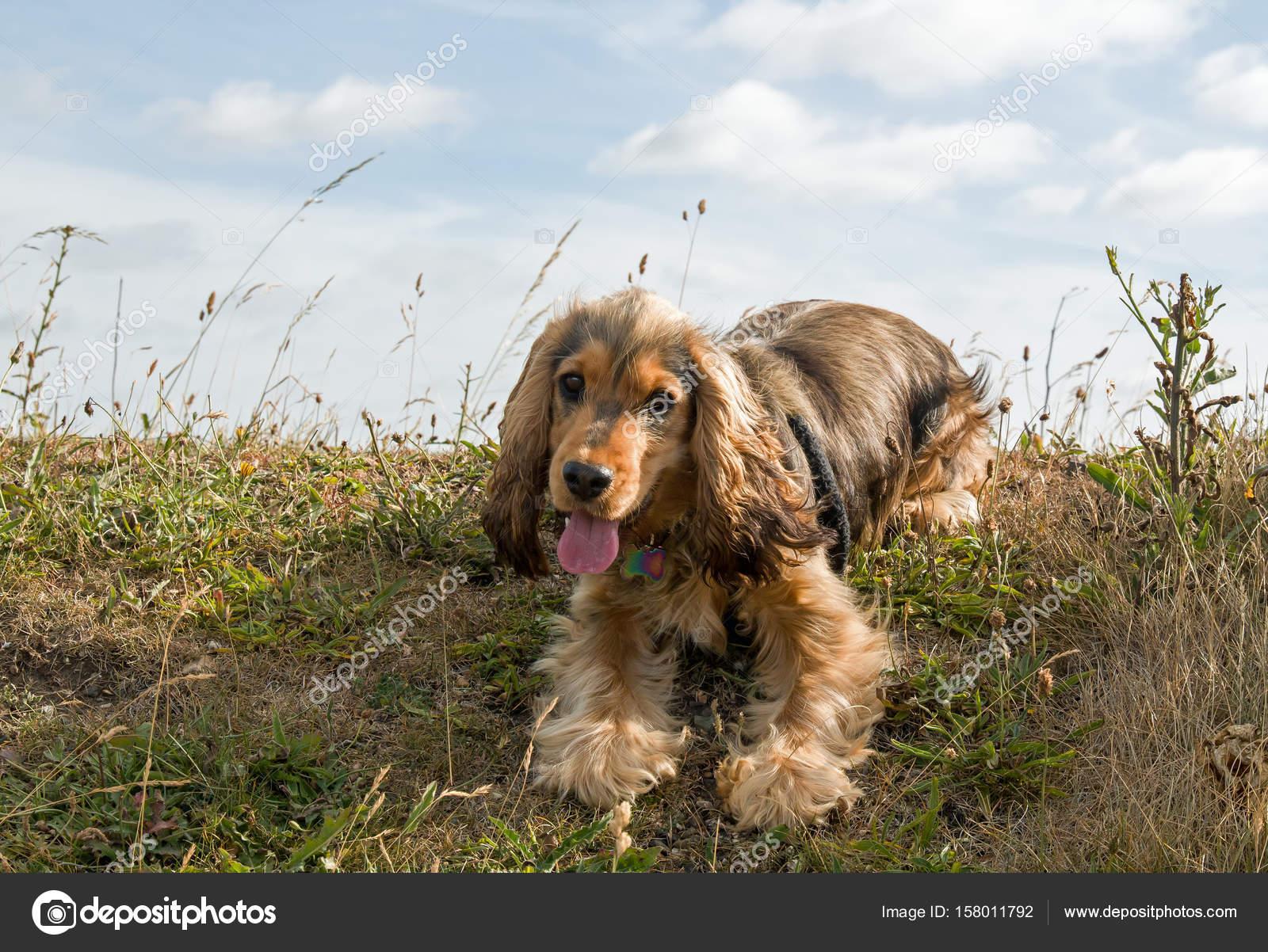 English Show Cocker Spaniel Puppy Panting Stock Photo C Suerob 158011792