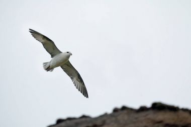 Northern Fulmar and Cliffs