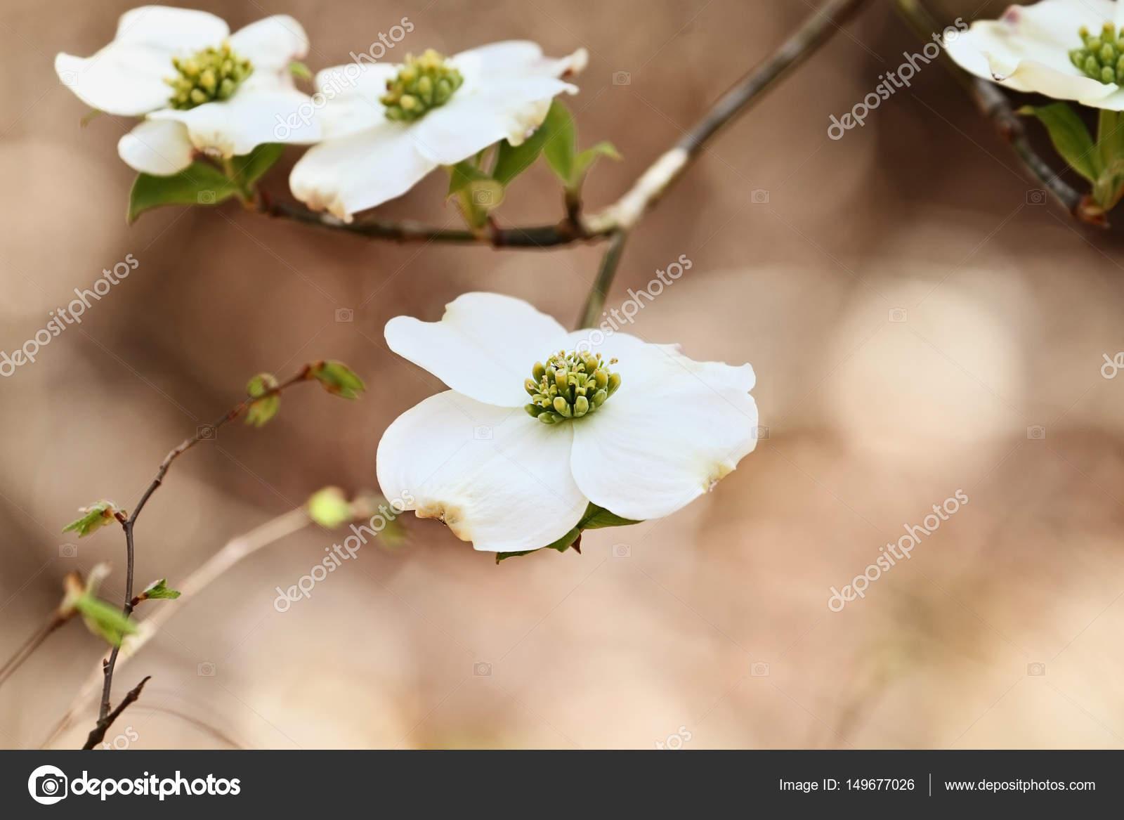 Beautiful White Flowering Dogwood Blossoms Stock Photo