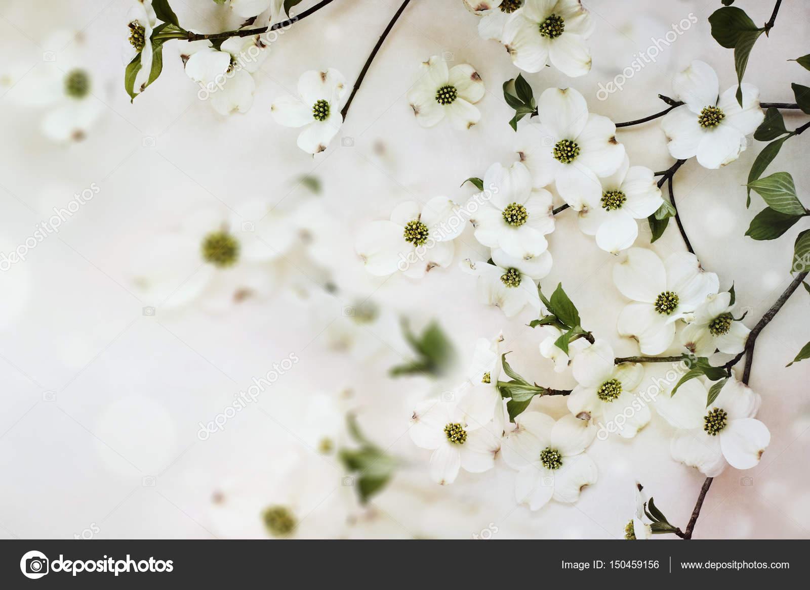 Flowering Dogwood Tree Blossoms Stock Photo Stephaniefrey 150459156