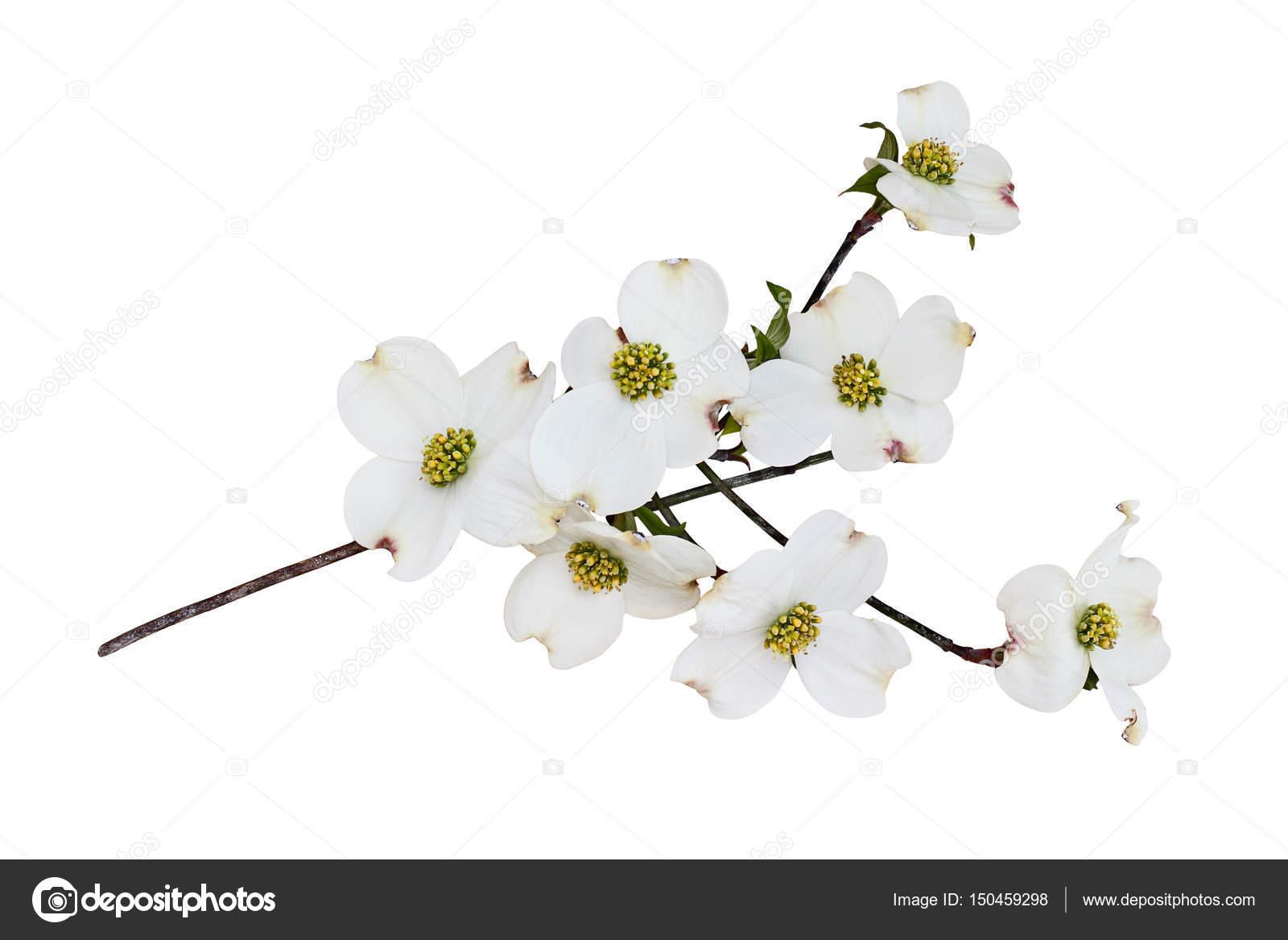Isolated White Flowering Dogwood Tree Blossoms Stock Photo