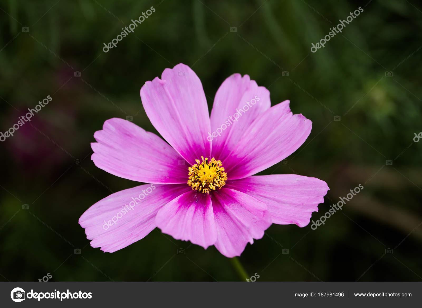 Cosmo flower stock photo stephaniefrey 187981496 a pink cosmos cosmos bipinnatus with extreme shallow depth of field photo by stephaniefrey mightylinksfo
