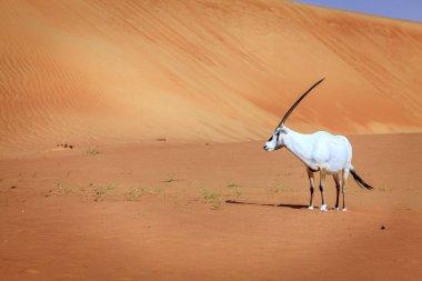 Arabian antelope in the Desert