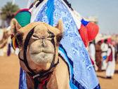 camel at Camel Racing Club