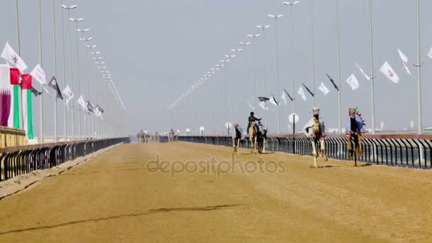 Camels with robot jockeys at racing practice