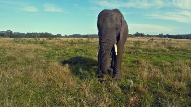 Africký slon chodící na zelené trávě v Jižní Africe