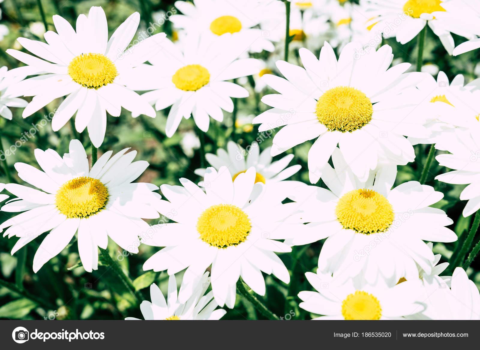Daisy Flowers Bloom Bright Sunny Day Stock Photo Alexeys 186535020
