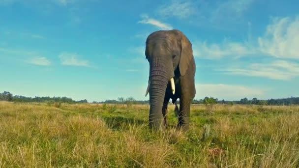 Mladý slon v prérii v Jižní Africe