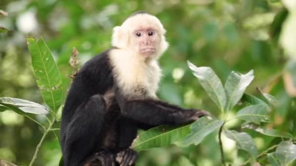 Capuchin majom Costa Rica