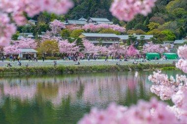 cherry blossom at arashiyama by the river