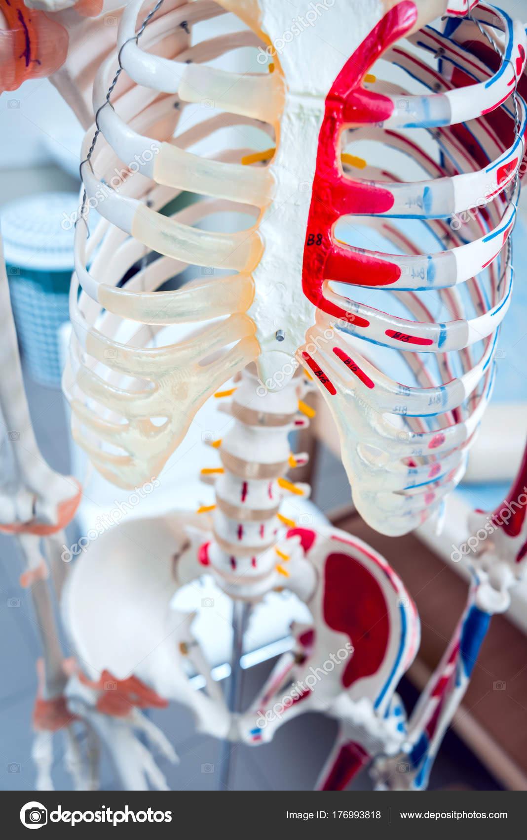 Modelo Anatomía Humana Consultorio Médico — Foto de stock © Romaset ...