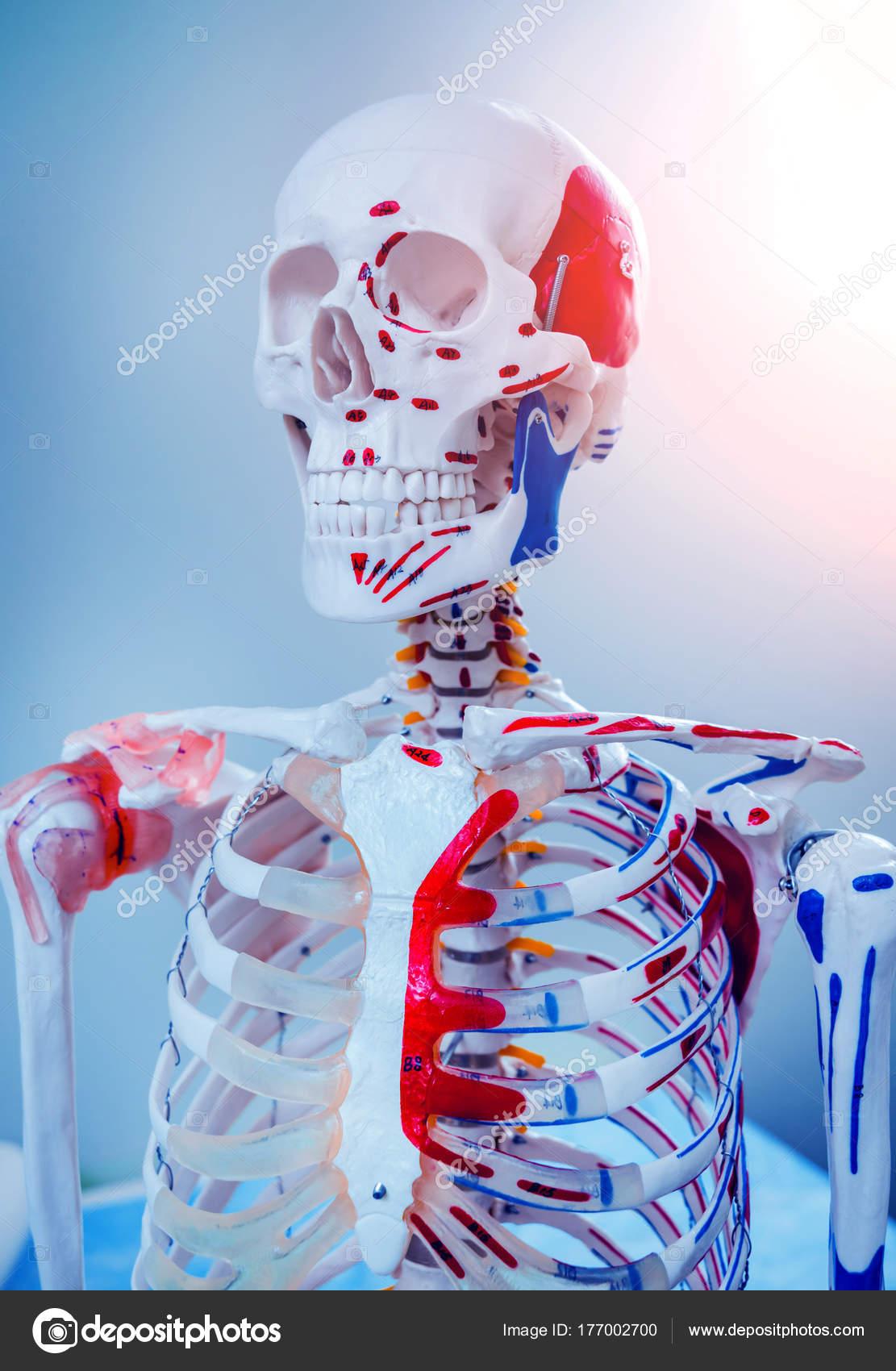 Menschliche Anatomie Modell Arztpraxis — Stockfoto © Romaset #177002700