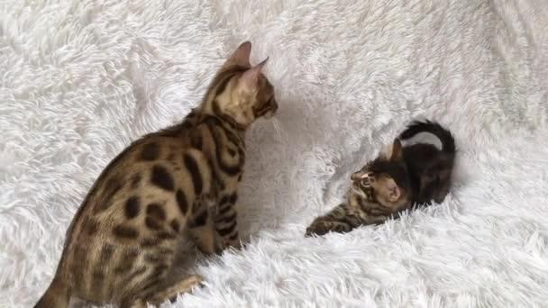 Dvě roztomilá bengálská koťata zlaté a chorocoal barvy hraní a boje na bílém pozadí.