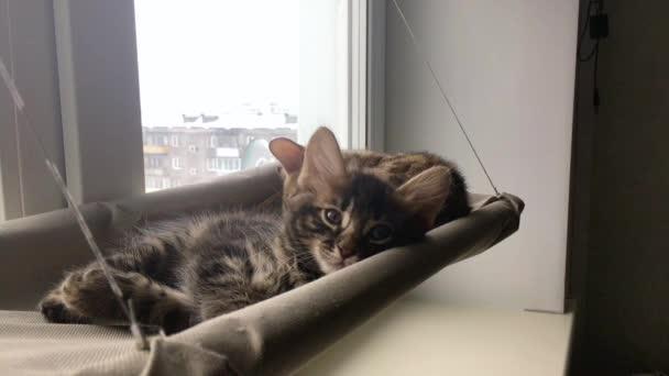Roztomilé malé dřevěné uhlí bengal kočička ležící na kočičí okno postel sledování na pokoji.