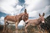 donkeys grassing in mountain