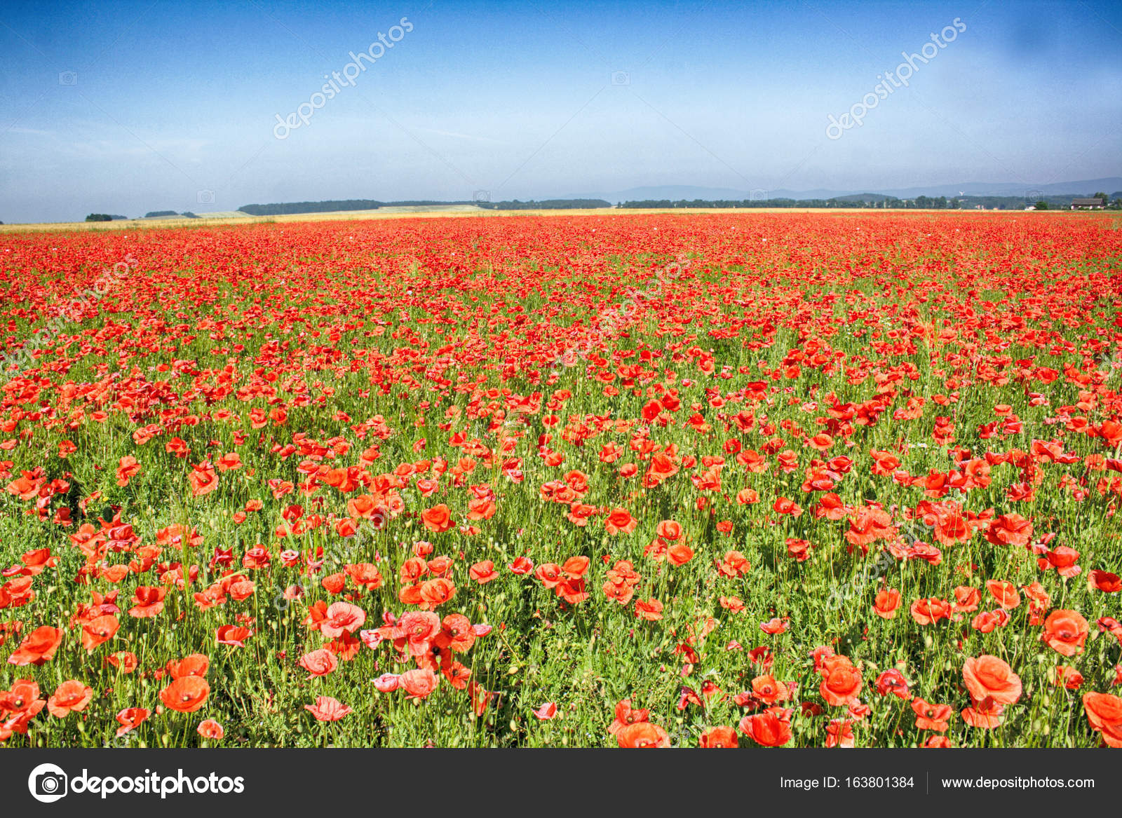 Poppy Flower Field Stock Photo Jonnysek 163801384