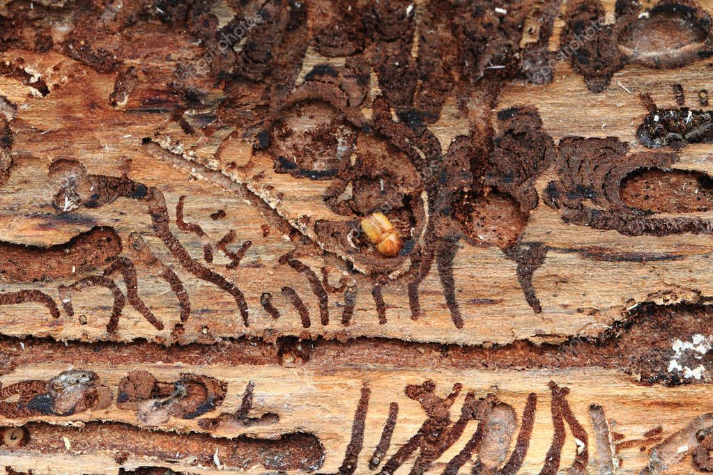 bark beetle as dangerous insect