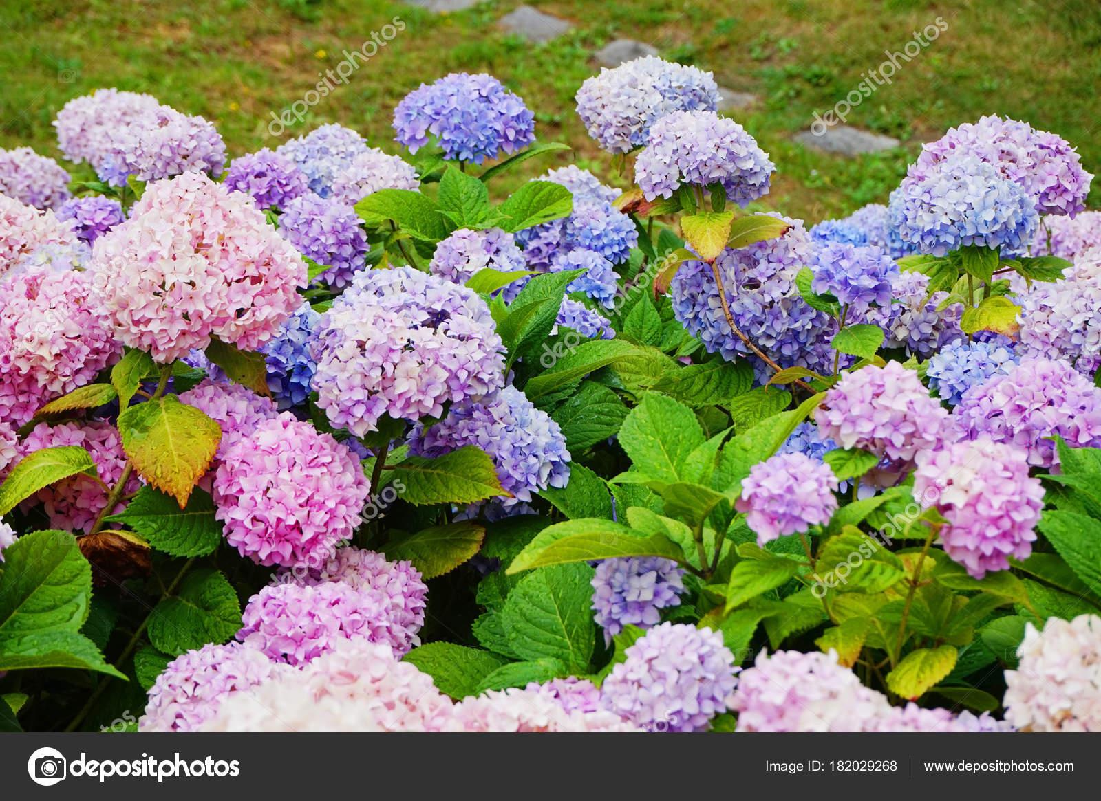 Hortensia Flores Como Fondo Natural Muy Bonito Color Foto De Stock - Color-hortensia