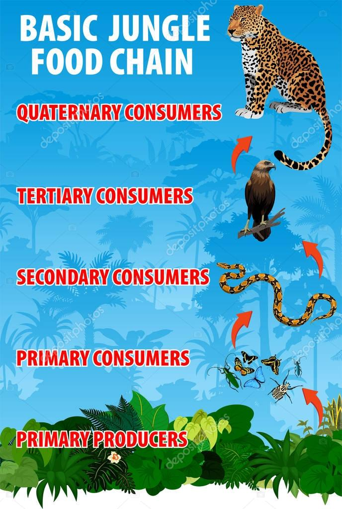 Basicjungle rianforest food trophic chain. Tropical ecosystem energy flow. Vector illustration.