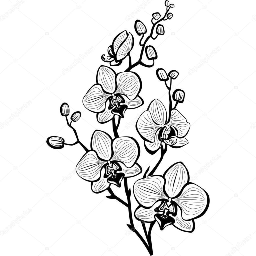 skizze der orchidee bl ht stockvektor wikki33 145377347. Black Bedroom Furniture Sets. Home Design Ideas