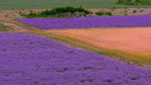 Summer landscape farmland lavender and wheat.