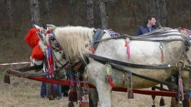 Decorated gypsy horses and carts.