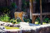 schöne amur tiger auf hintergrund