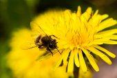 Mézelő méh, pitypang méhecske