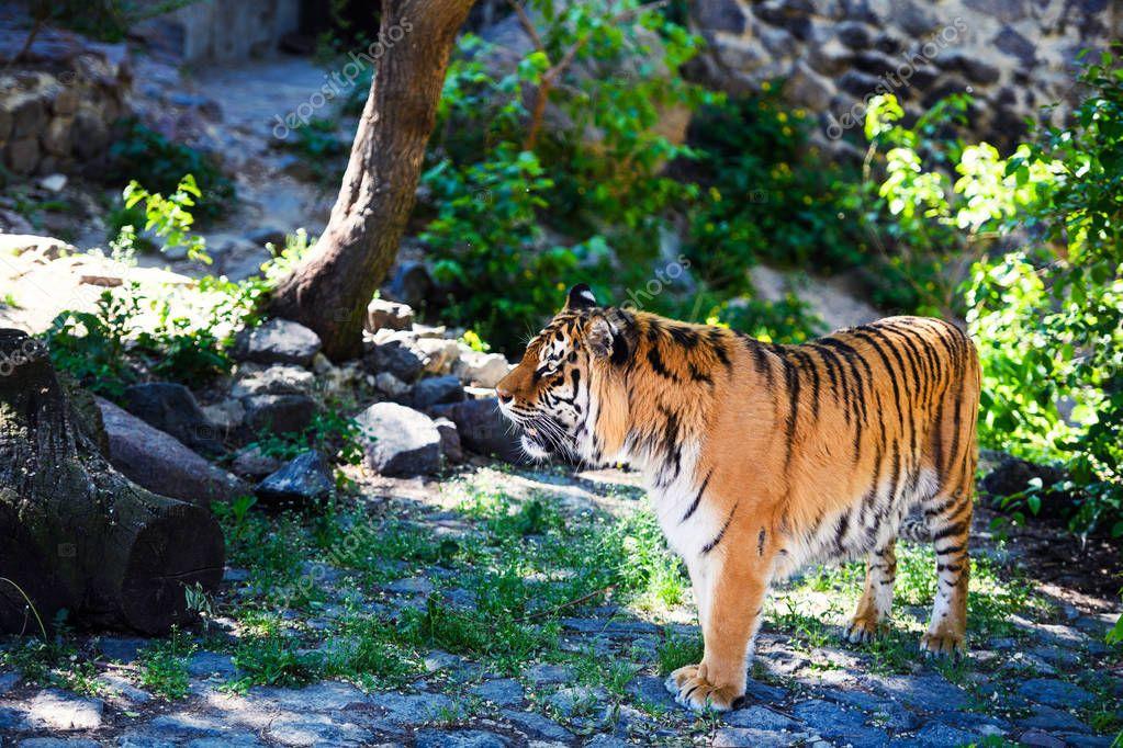 Beautiful tiger on green grass