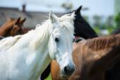 Fehér ló hosszú sörényével a legelőn a gyönyörű kék ég ellen
