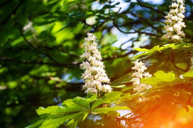 chestnut at spring day