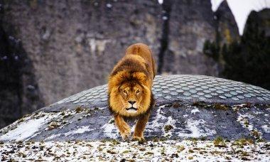 Beautiful Mighty Lion.
