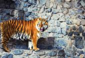Szép amur tigris portré