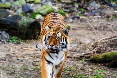 Beautiful  tiger animal on background