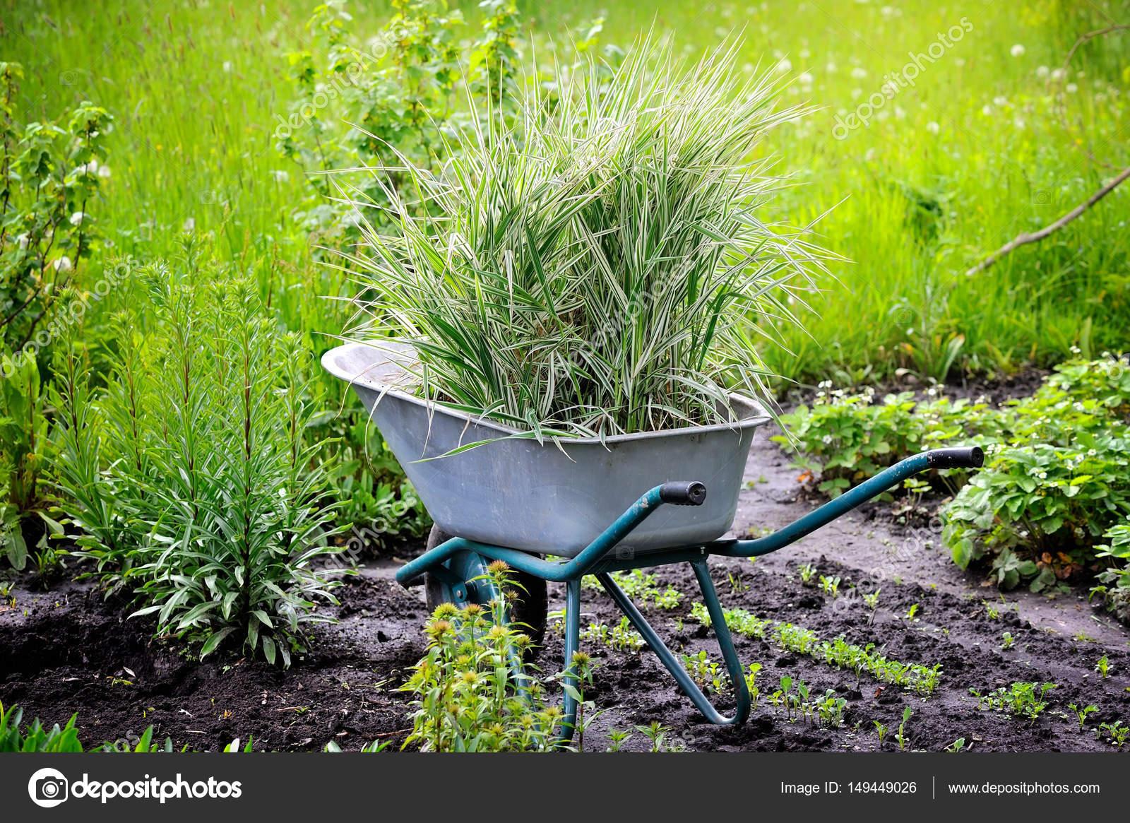 Wheelbarrow full with decorative sedges (Reed canary grass) for ...