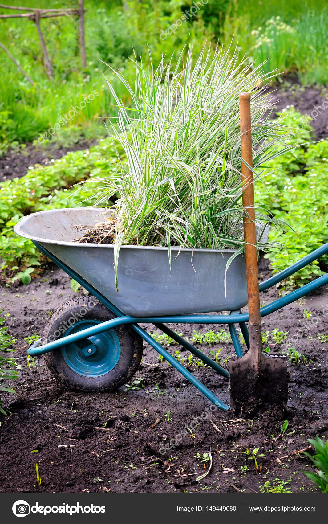 Wheelbarrow full with decorative sedges (Reed canary grass) and ...