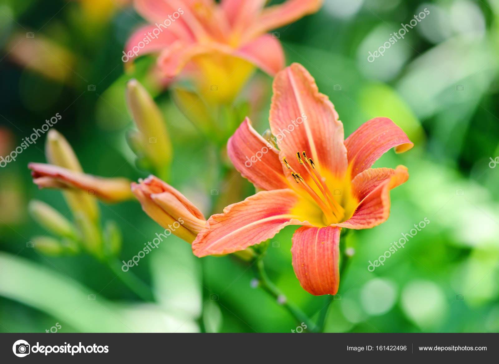 Hemerocallis Schöne Taglilie Blumen Blühen Im Garten Stockfoto