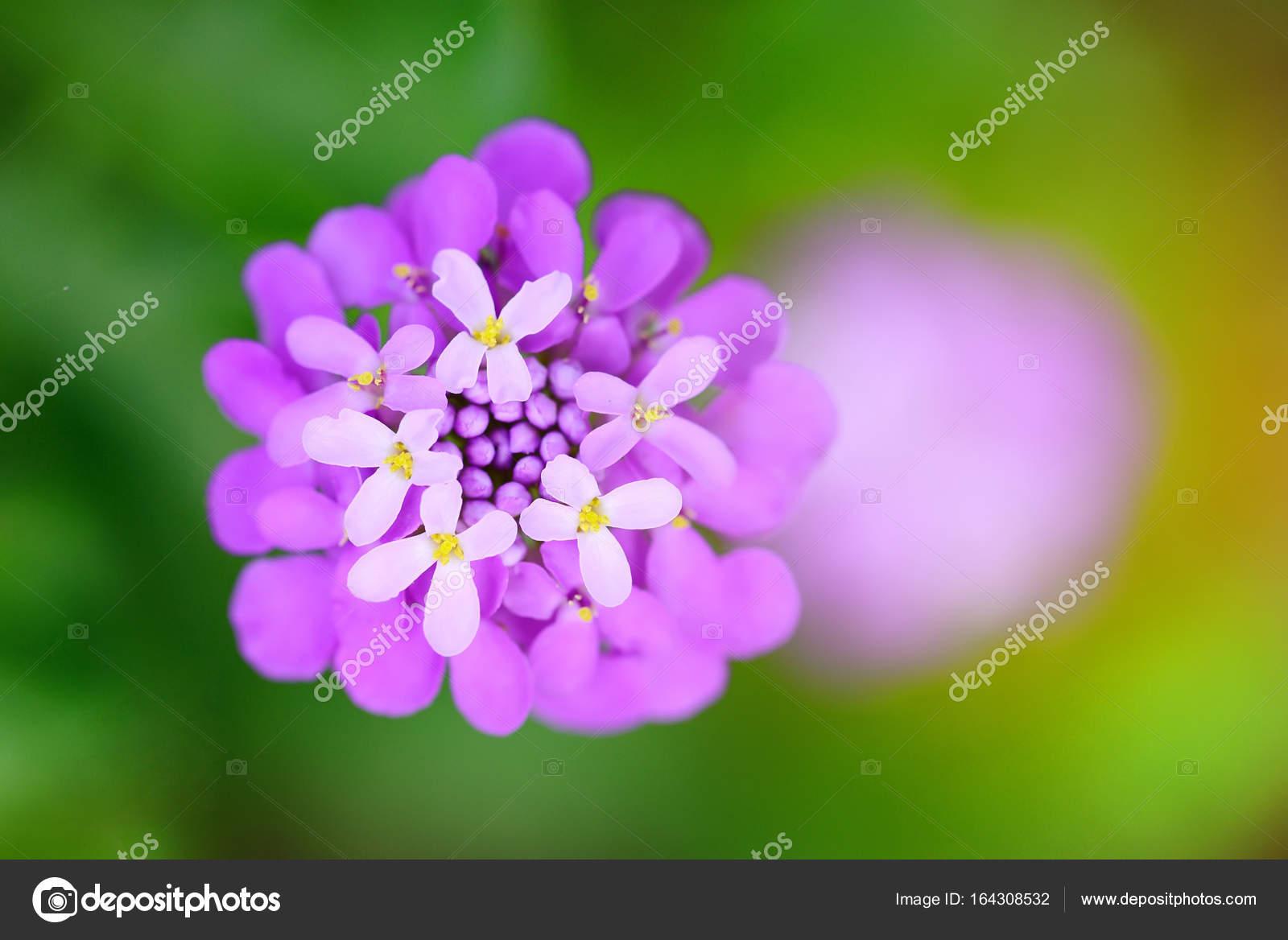 Small Purple Flowers Iberis Umbellate In Summer In A Garden Stock