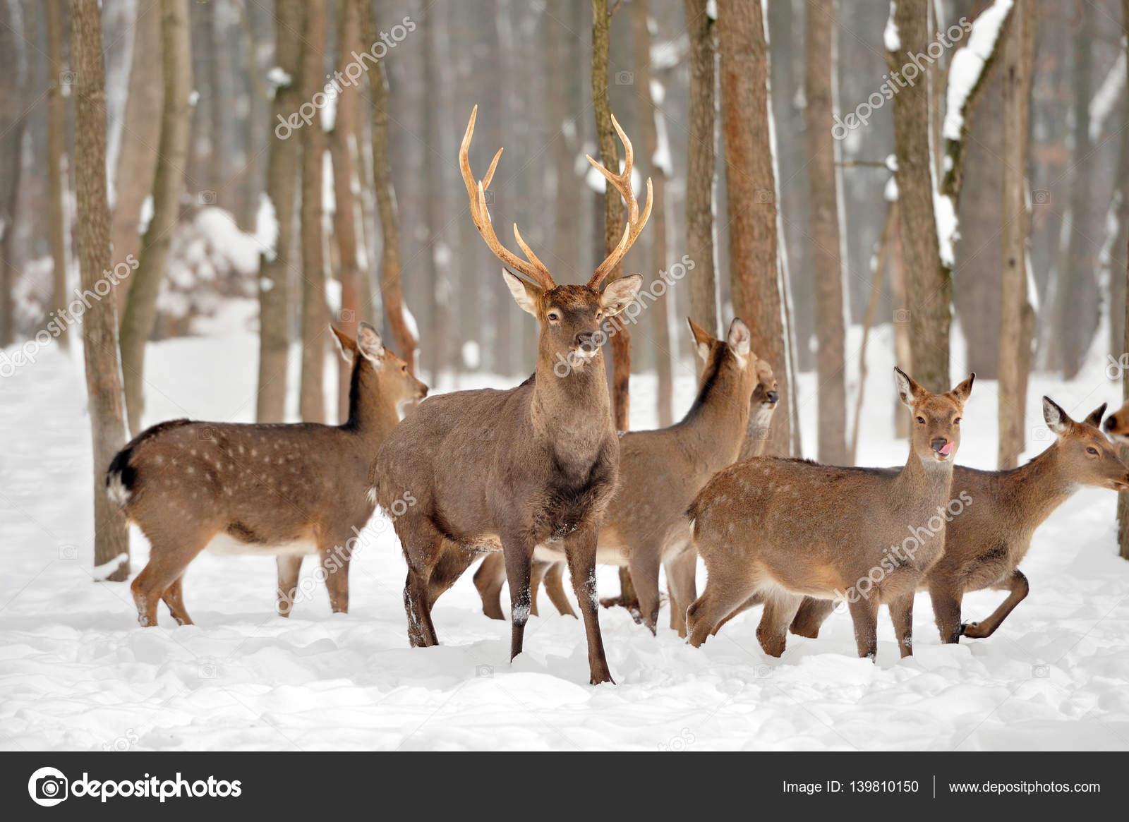 Reh Im Winter