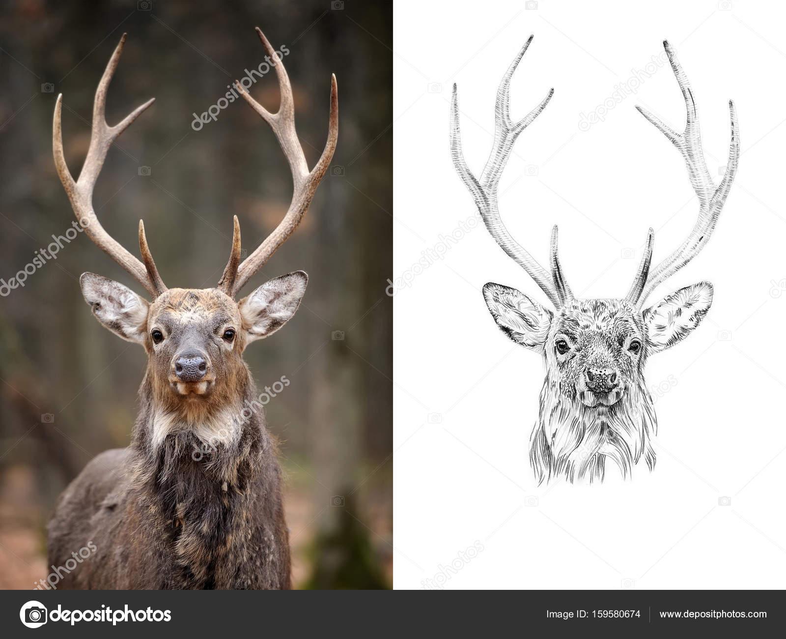 Imágenes Venado A Lapiz Retrato De Ciervo Antes Y Después De