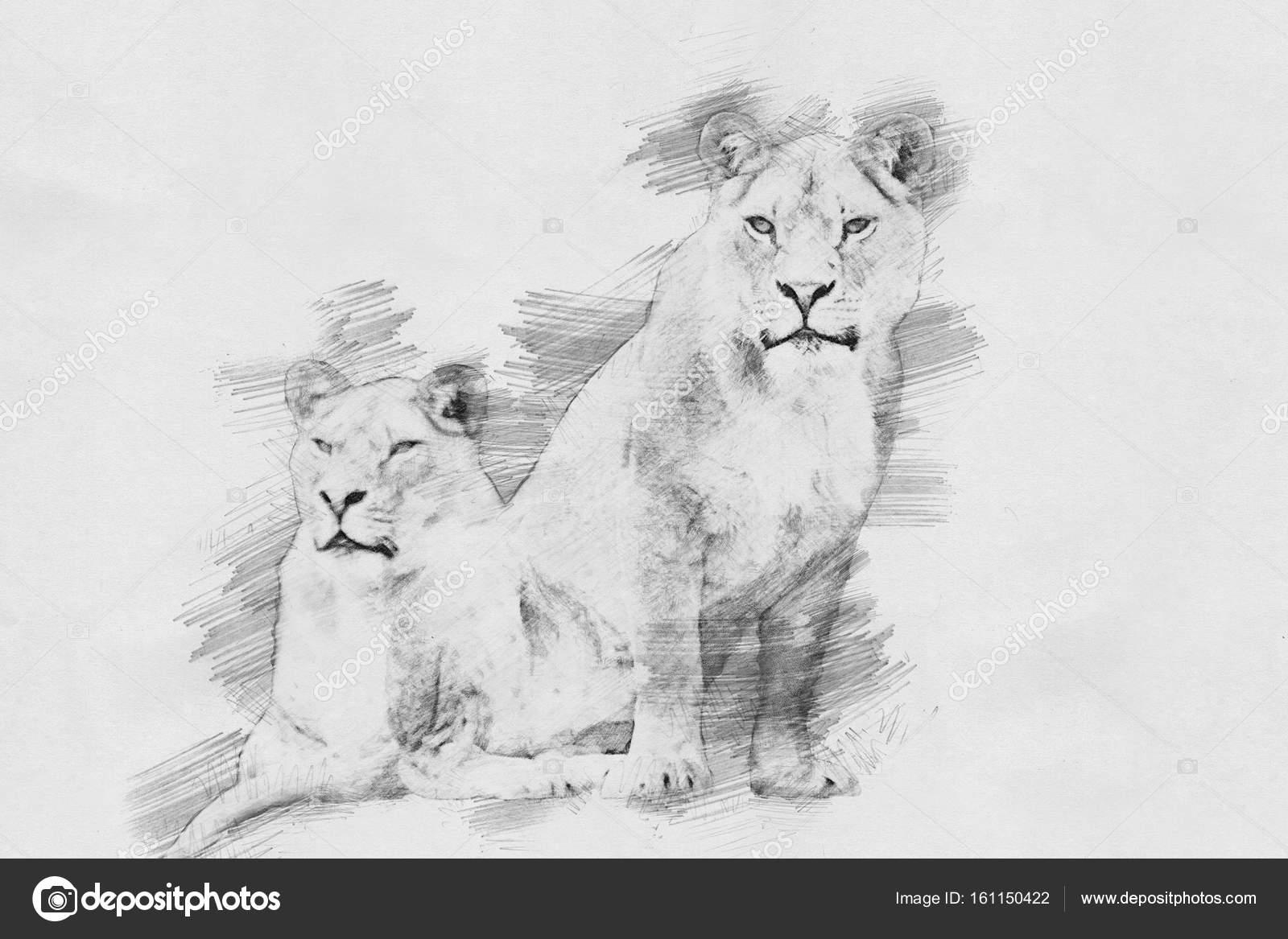 Line Art Lion : Lion sketch with pencil u stock photo volodymyrbur