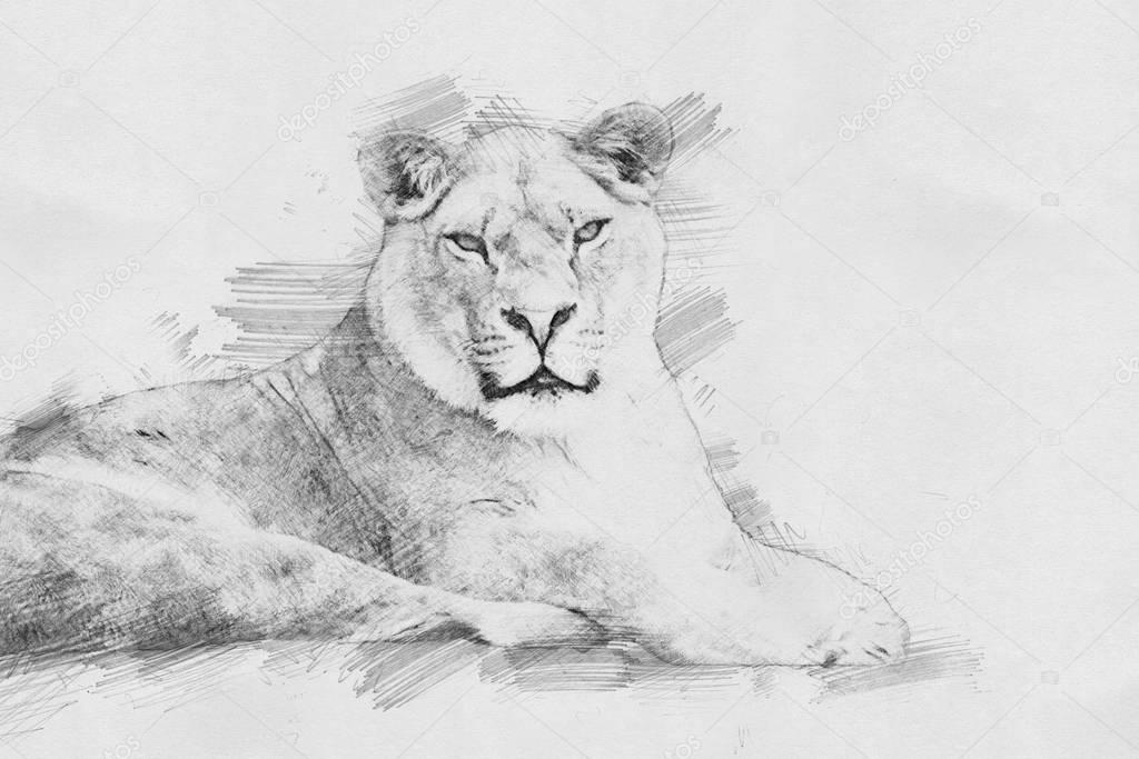 Lion. Sketch with pencil