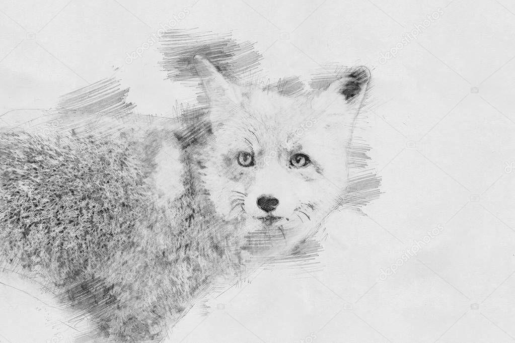 Fox. Sketch with pencil
