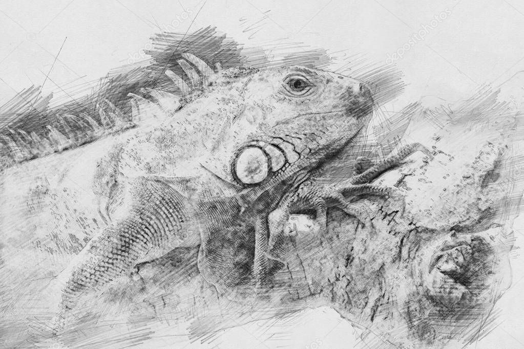 Iguana. Sketch with pencil