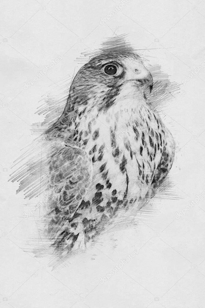 Eagle. Sketch with pencil