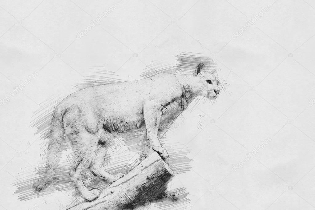 Puma. Sketch with pencil