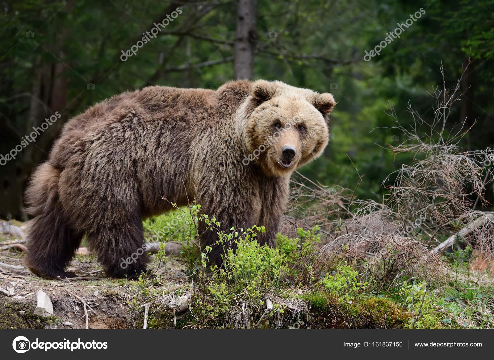 Wielki niedźwiedź