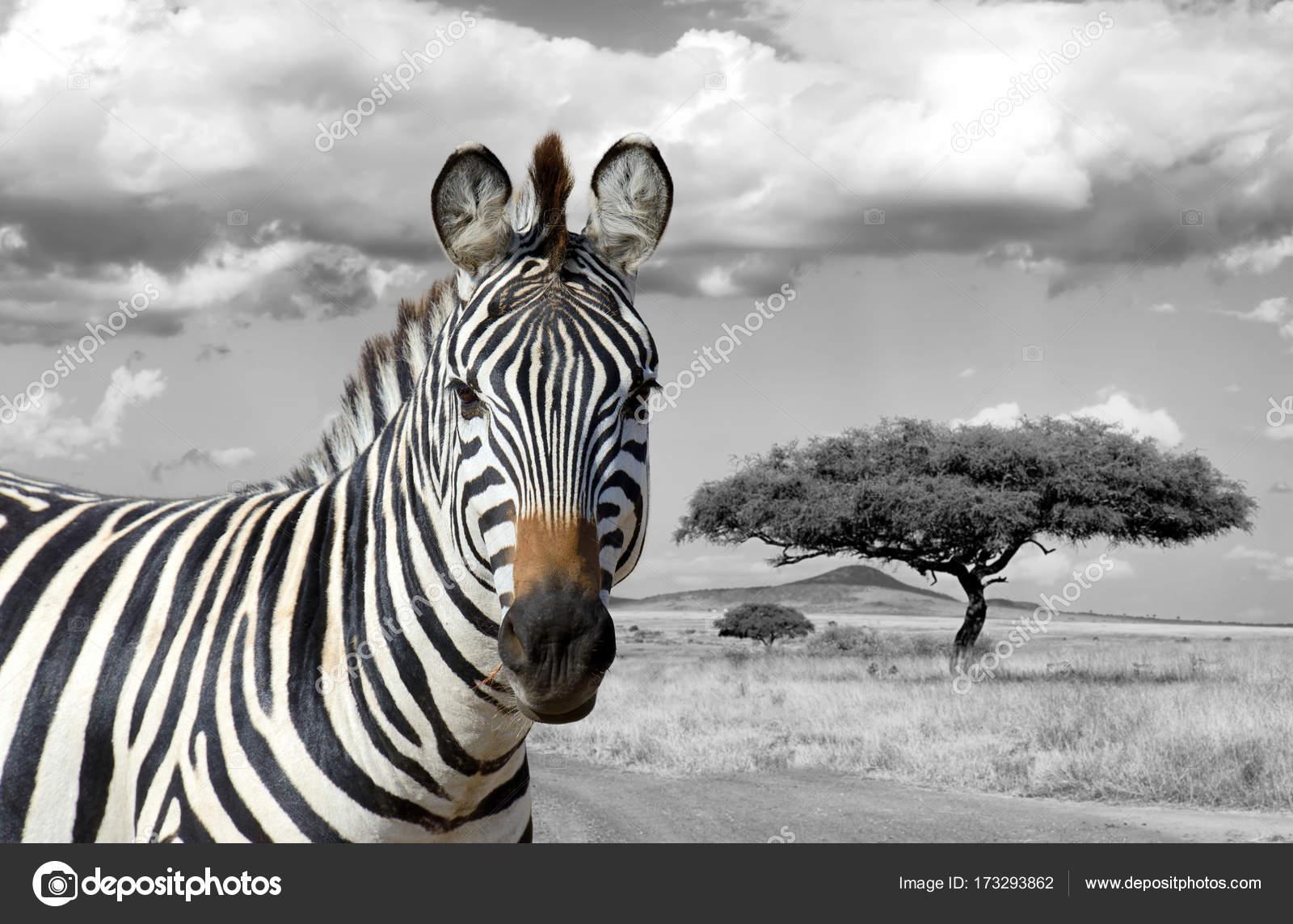 Schwarz Weiß Fotografie Mit Farbe Zebra Stockfoto Volodymyrbur