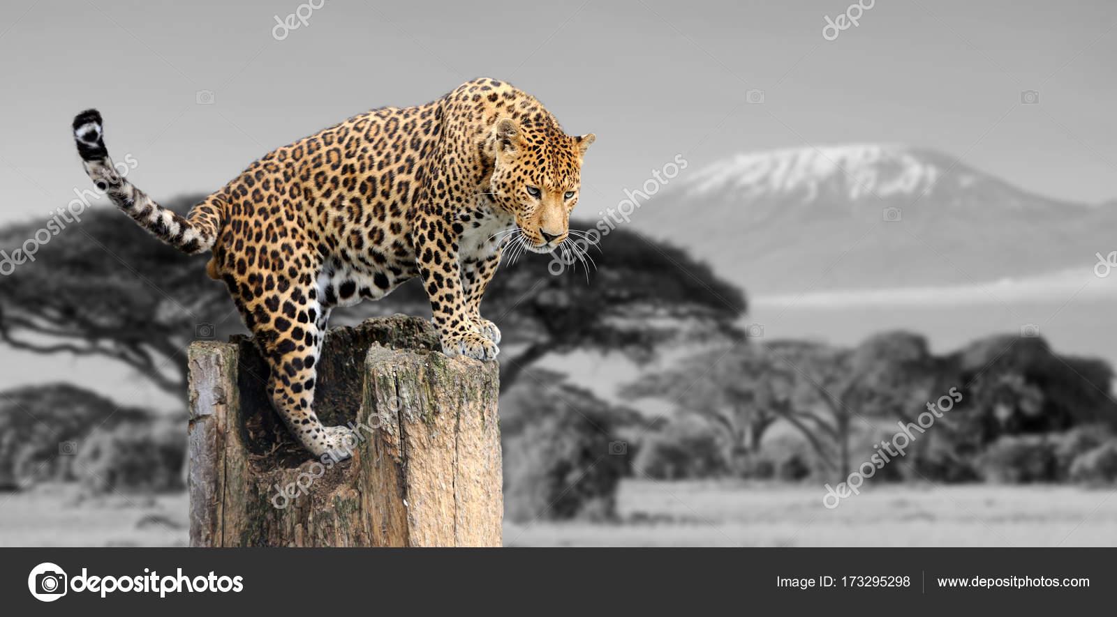 Fotografia In Bianco E Nero Con Colore Leopardo Foto Stock