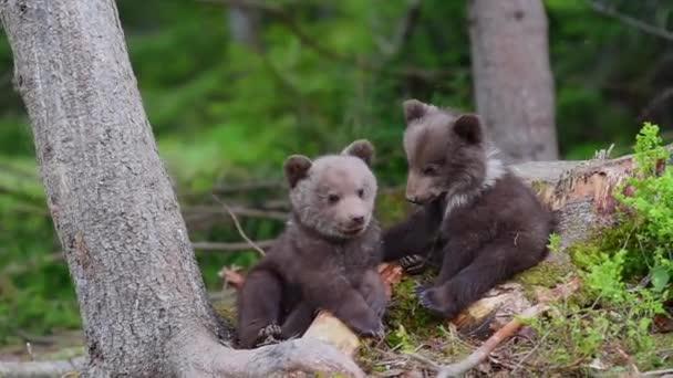 Két medve cubs erdő